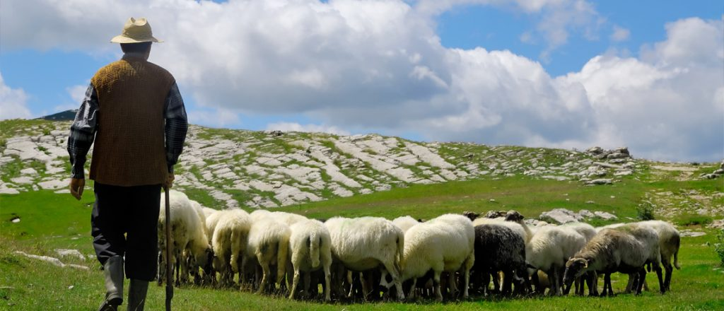 kazen ovce